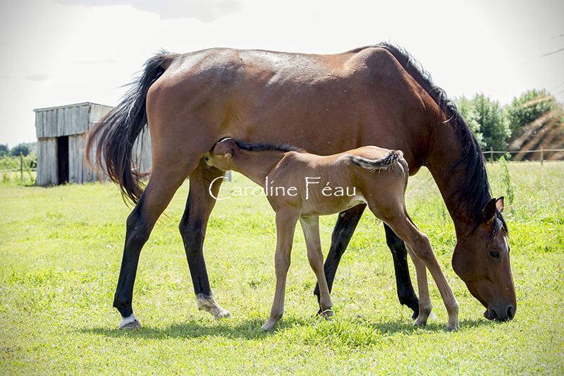 photographe chevaux indre et loire CF Photographe
