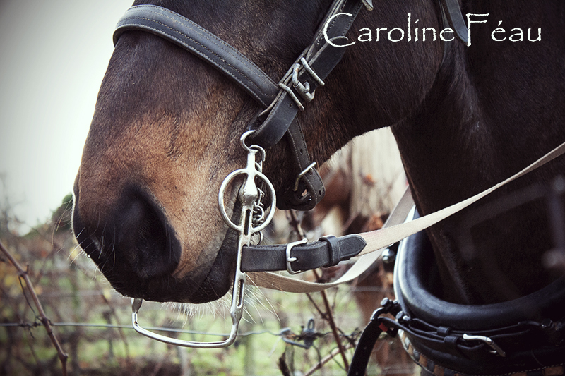 photographe chevaux touraine CF Photographe